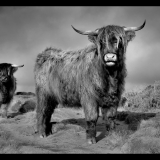 Highland-Cattle-at-Curbar-by-Paul-Swannell