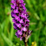 Purple-Marsh-Orchid-by-john-stubbs