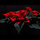 POINSETTIA-by-Michelle-Brooks