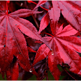 WET-MAPLE-by-Frank-Hobbs