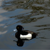 TUFTED-DUCK-by-Wendy-Beasley