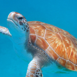 BARBADOS-TURTLE-by-Rosemary-Gooch