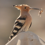 HOOPOE-by-John-Sykes