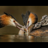 GREAT-CRESTED-GREBE-FEEDING-YOUNG-by-Blythe-Bridge