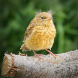 JUVENILE-THRUSH-by-Ashbourne