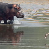 THE-HIPPO-AND-THE-BIRD