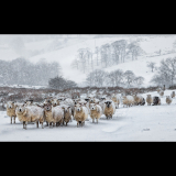 WINTER-SHEEP-IN-A-BLIZZARD-by-Blythe-Bridge