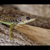 ANOLE-LIZARD-by-Rosemary-Gooch