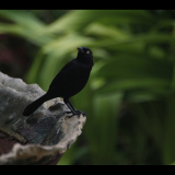 BARBADOS-BLACKBIRD-by-Rosemary-Gooch