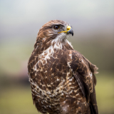 BUZZARD-by-Lisa-Travers