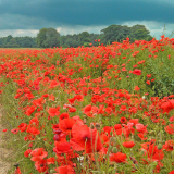 POPPIES-BEFORE-THE-STORM-by-Rupert-Bowling