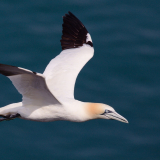 18-Open-DONT-GET-IN-THE-WAY-OF-A-HIGH-SPEED-GANNET01