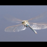 DRAGONFLY-IN-FLIGHT-by-Wendy-Beasley