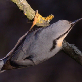 THERES-ONLY-ONE-BRADLEY-NUTHATCH-by-Barry-Thomas