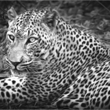 LEOPARD-by-Frank-Hobbs