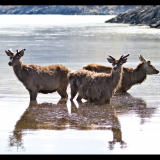 DEER-COOLING-IN-THE-SEA-LOCH-by-Barry-Thomas