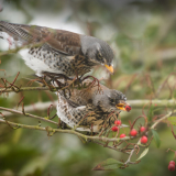 FIELDFARE-FEAST-by-Lisa-Travers