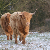 HIGHLAND-CATTLE-by-Sue-Keeling