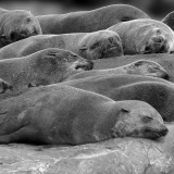 CAPE-FUR-SEALS-by-Bev-Wareing