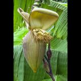 DORSET-BANANA-FLOWER-by-Glyn-Bass