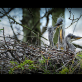 ARDEA-CINEREA-THREE-HERON-CHICKS-IN-THE-NEST-by-Rosemary-Gooch-