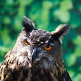 BARN-OWL-by-Hugh-Stevenson