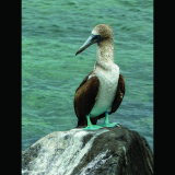 BLUE-FOOTED-BOOBY-by-Alison-Matthews