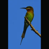 BLUE-TAILED-BEE-EATER-by-John-Sykes