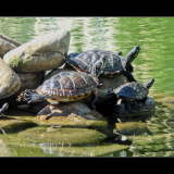 COMMONTERRAPINS-by-Glyn-Bass