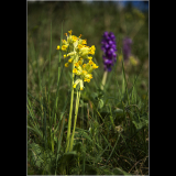 COWSLIPS-AND-ORCHIDS-IN-MEADOW-HABITAT-by-Peter-Edge