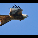 EYEBALLED-BY-A-PASSING-RED-KITE-by-Barry-Thomas