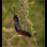 FIVE-SPOT-BURNET-MOTHS-ON-SEEDHEAD-by-Peter-Edge