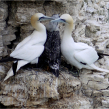 GANNETS-WITH-YOUNG-by-Wendy-Beasley