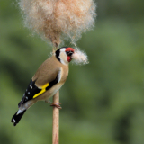 GOLDFINCH-GATHERING-BULLRUSH-SEEDS-by-Barry-Thomas
