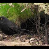 MALE-BLACKBIRD-by-Glyn-Bass