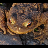 TOAD-UP-CLOSE-by-Wendy-Beasley
