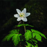 WILD-WOOD-ANEMONE-by-Lisa-Travers