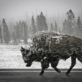 YELLOWSTONE-BISON-by-Bev-Wareing
