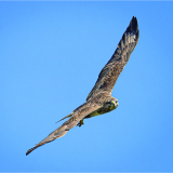 BUZZARD-NEAR-STURSTON-MILL-by-Frank-Hobbs