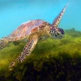 CHELONIA-MYDAS-GREEN-SEA-TURTLE-by-Rosemary-Gooch