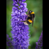 COLLECTING-THE-POLLEN-BOMBUS-TERRESTRIS-by-Rosemary-Gooch