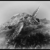 GREEN-SEA-TURTLE-CHELONIA-MYDAS-by-Rosemary-Gooch