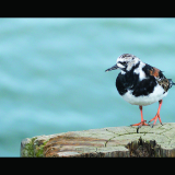 RUDDY-TURNSTONE-by-Lisa-Travers
