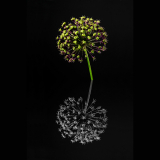 ALIUM-REFLECTION-by-Phil-Robinson