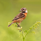 FEMALE-STONECHAT-by-Ken-Smith