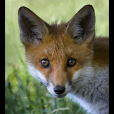 FOX-CUB-CLOSE-UP-by-Barry-Thomas