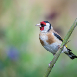 GOLDFINCH-ON-BAMBOO-by-Lisa-Travers.