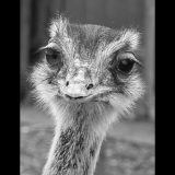OSTRICH-IN-MABLETHORPE-by-Alison-Wareing-