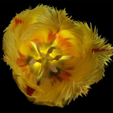 TOP-DOWN-TULIP-by-Mike-Lewis