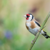 GOLDFINCH-ON-BAMBOO-by-Lisa-Travers